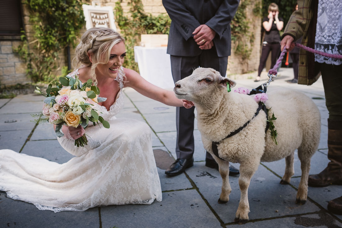 Sheep at a wedding